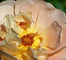 Withering Rose by Deborah  Benoit