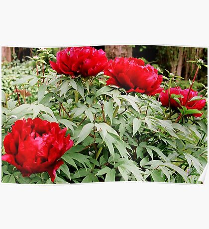 Peony Cluster Poster