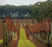 Winter Vineyard by Robyn Smith