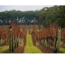 Winter Vineyard Photographic Print