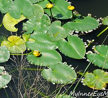 #386    Lily Pads On Pond by MyInnereyeMike