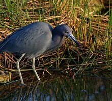 Little Blue Heron by Denis Wagovich