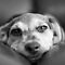"""Best of the Best"" Black & White Dog Images only!"