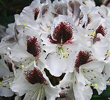 Rhododendron Calsap by Marylamb
