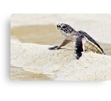 Baby green sea turtle Canvas Print