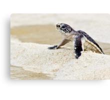 Baby green sea turtle Canvas Print