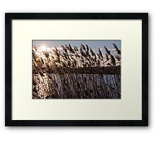 Reeds at Sunset Framed Print