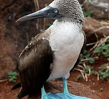 Blue Footed Boobie by Ricky Howard