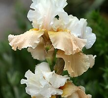 Cream And Tan Iris by Debbie Oppermann