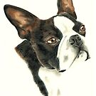 Boston Terrier by Penny Edwardes
