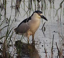 Black-crowned Night-Heron by Mark  Larlham