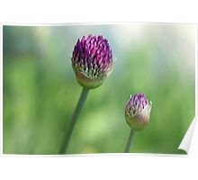Shadowed Allium Buds - Purple And Green Poster