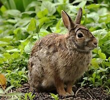 You Can't See Me - Eastern Cottontail by Debbie Oppermann