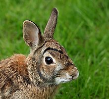 Big Eared Brown Eyed Cottontail by Debbie Oppermann