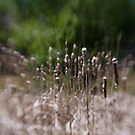 cattails by Kevin Williams