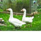 Frac Geese by PixelChez