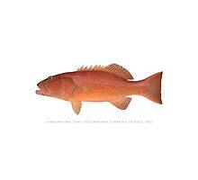 Coral Trout (Plectropomus leopardus) by StickFigureFish