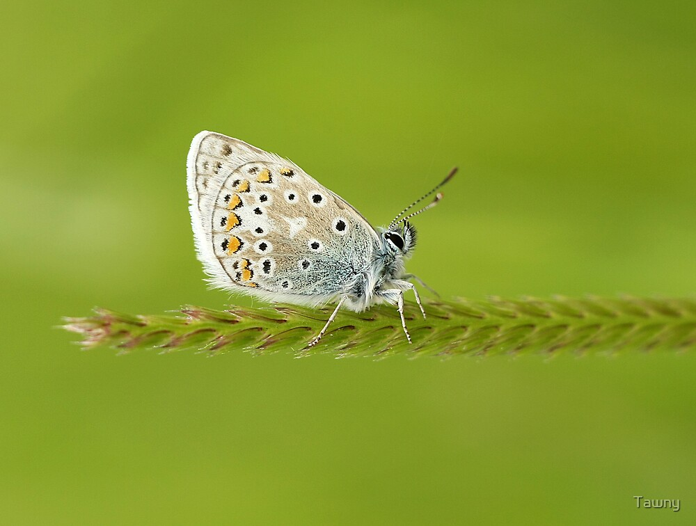 The Common Blue Butterfly by Tawny