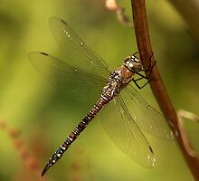 The Common Hawker Dragonfly by Tawny