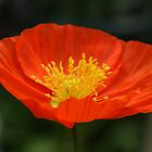 The Champagne Poppy. by Tawny