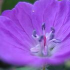 Purple serenity by impala01gurl