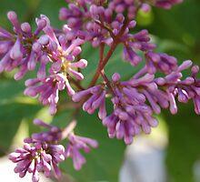Korean Lilac by jegustavsen