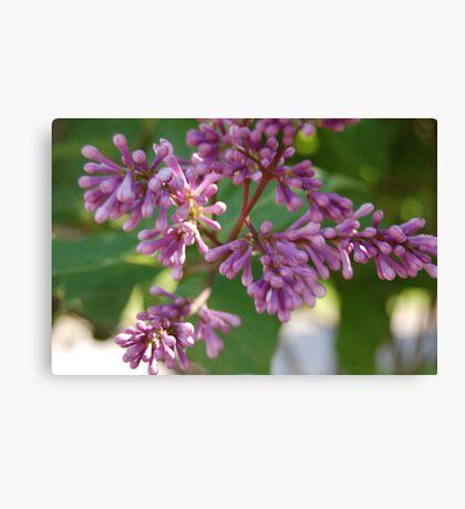Korean Lilac Canvas Print
