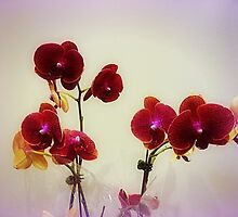 *Gorgeous Orchids* by EdsMum