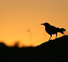 Grackle in the sunset by RichImage