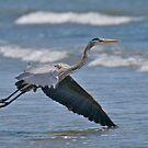Great Blue Heron 2 by Mark Gauti