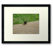 Mating flies Framed Print