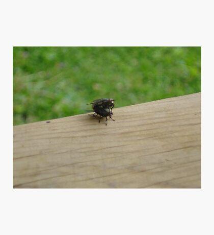 Mating flies Photographic Print