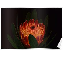 Glowing Protea Poster