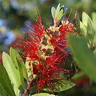 red flowered bottlebrush by Ajmdc