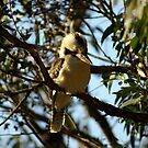 Kookaburra by Ajmdc