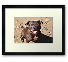 Happy Staffie Framed Print