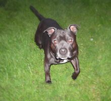 Handsome Staffordshire bull-terrier by BugHunter