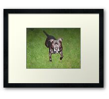 Handsome Staffordshire bull-terrier Framed Print
