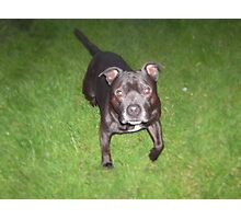 Handsome Staffordshire bull-terrier Photographic Print