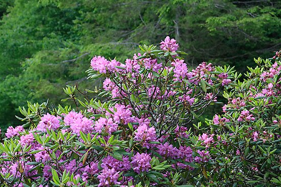 Catawba Rhododendron by Gary L   Suddath