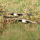 Canada Geese by Tawny