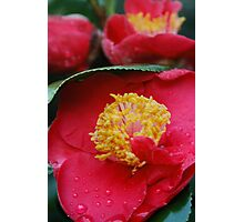 """camellia """"Dr. King"""" Photographic Print"""