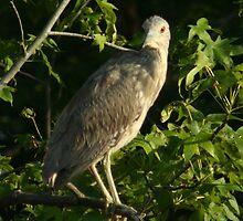 Juvenile Black-crowned Night-Heron by Mark  Larlham