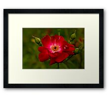 My love is like a red red rose that's newly sprung in June . . . Framed Print