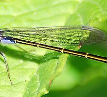 dragon fly  by cool3water