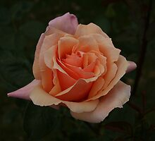 Peach Rose II by yortman