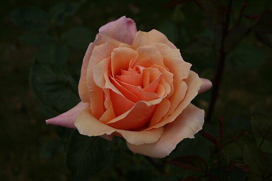 Peach Rose II by yortman
