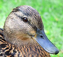 A Mallard Duck by AARDVARK