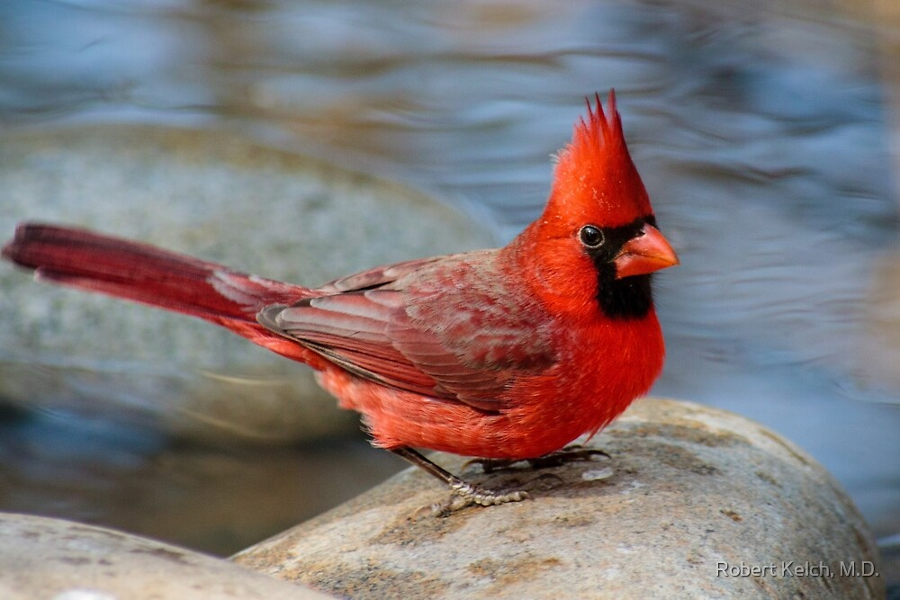 A Texas Cardinal by Robert Kelch, M.D.