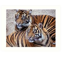 sumatran tigers at dudley zoo Art Print